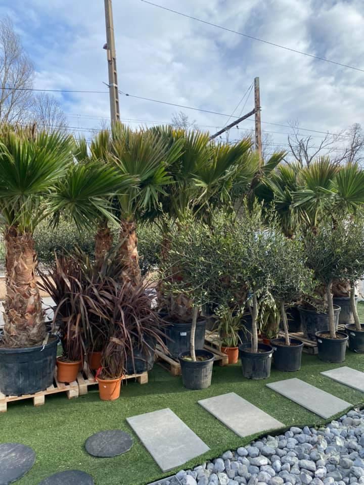Arrivage d'oliviers, palmiers et autres végétaux .... à prix spécial Ternay Sols !